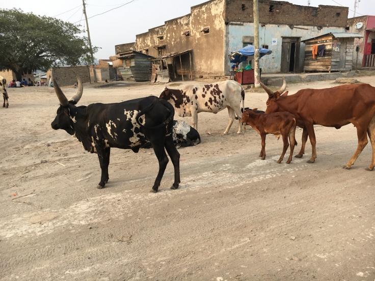 ankole cattle.JPG